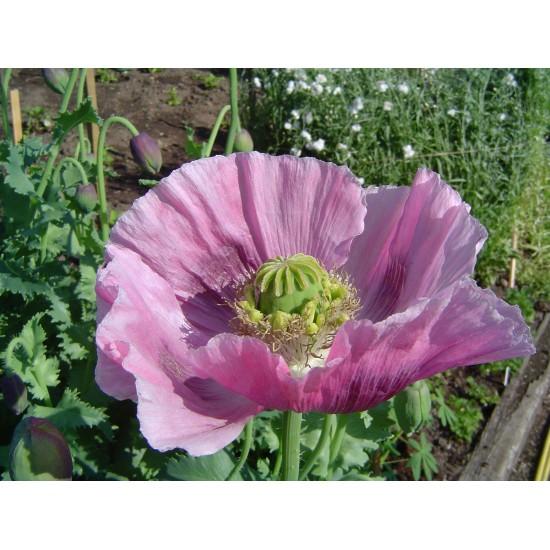 Fleur d'Opium - Profumo...